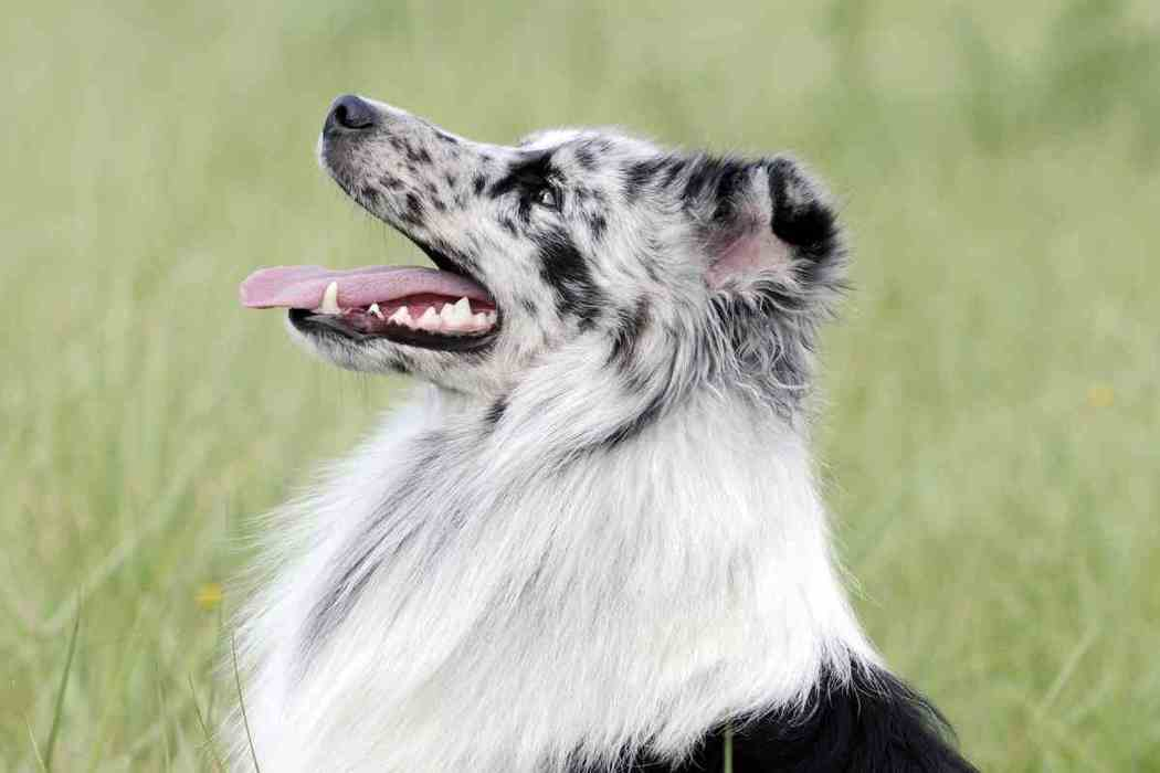 Are Male or Female Shetland Sheepdogs Easier To Train