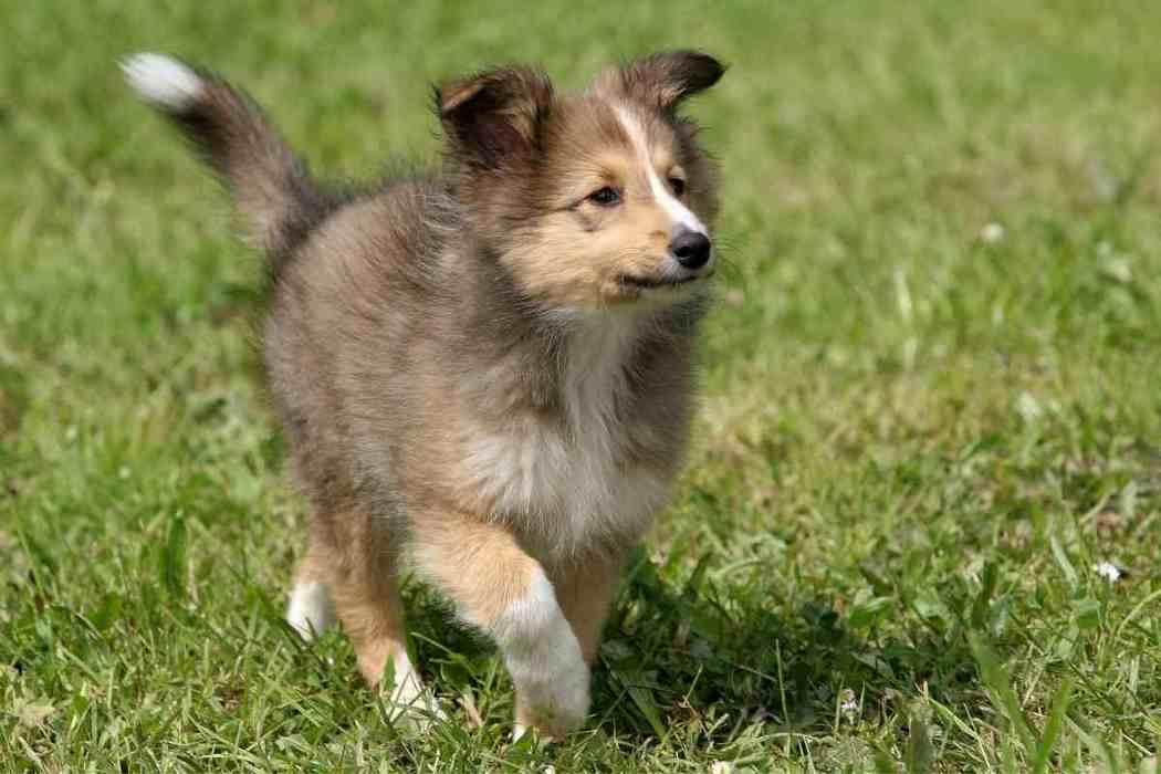 How Long Does It Take To Potty Train A Shetland Sheepdog?