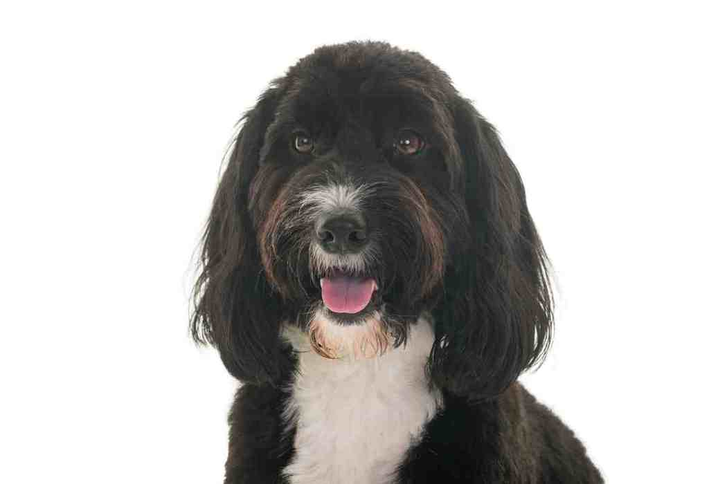 What Is A Cockapoo, And Are They A Good Dog For A Family?