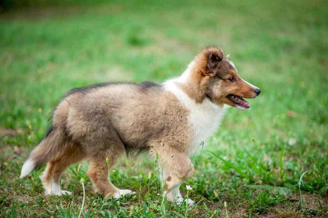 When Do Shelties / Shetland Sheepdogs Need Their First Haircut?