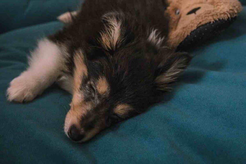 When Do Shetland Sheepdogs Sleep through the Night?