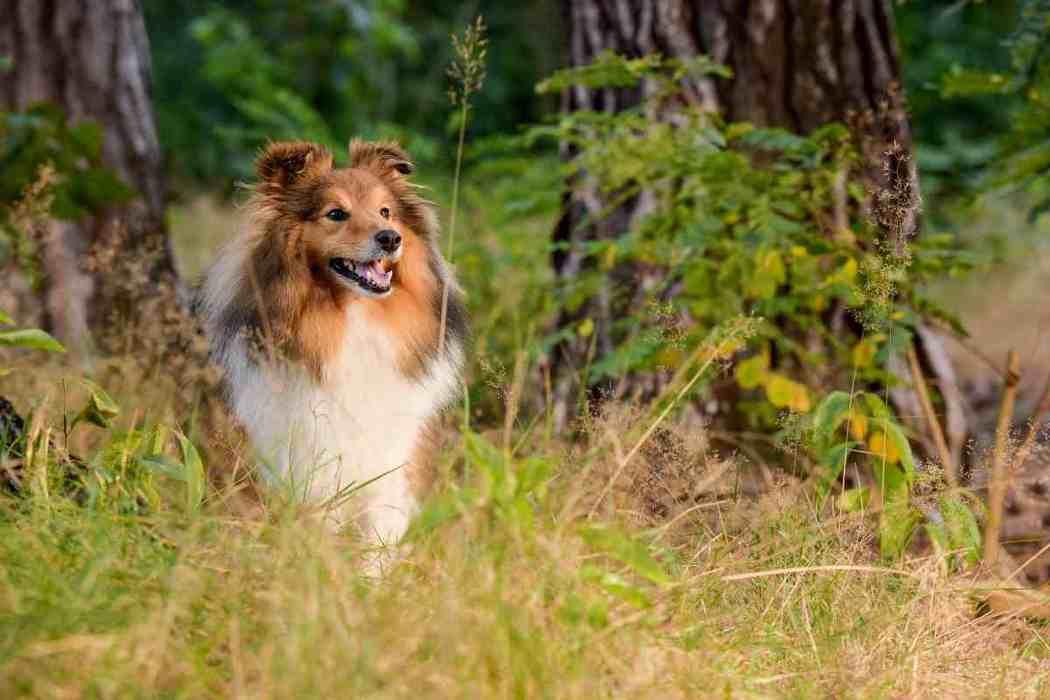 When Should A Sheltie / Shetland Sheepdog Be Neutered?