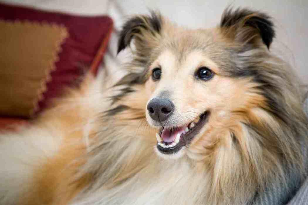 When Should A Sheltie / Shetland Sheepdog Be Spayed?