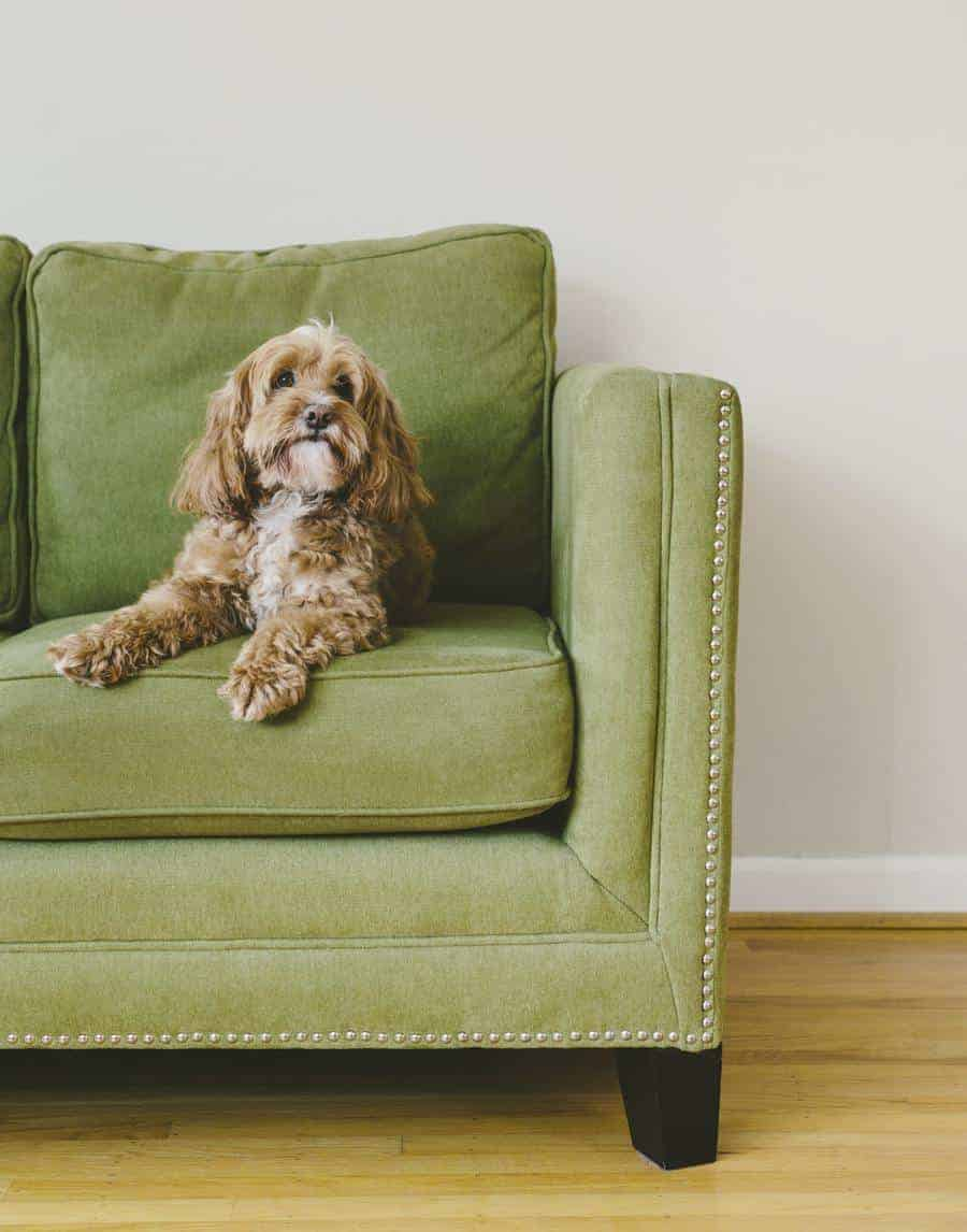 How long can a Cockapoo be left alone?