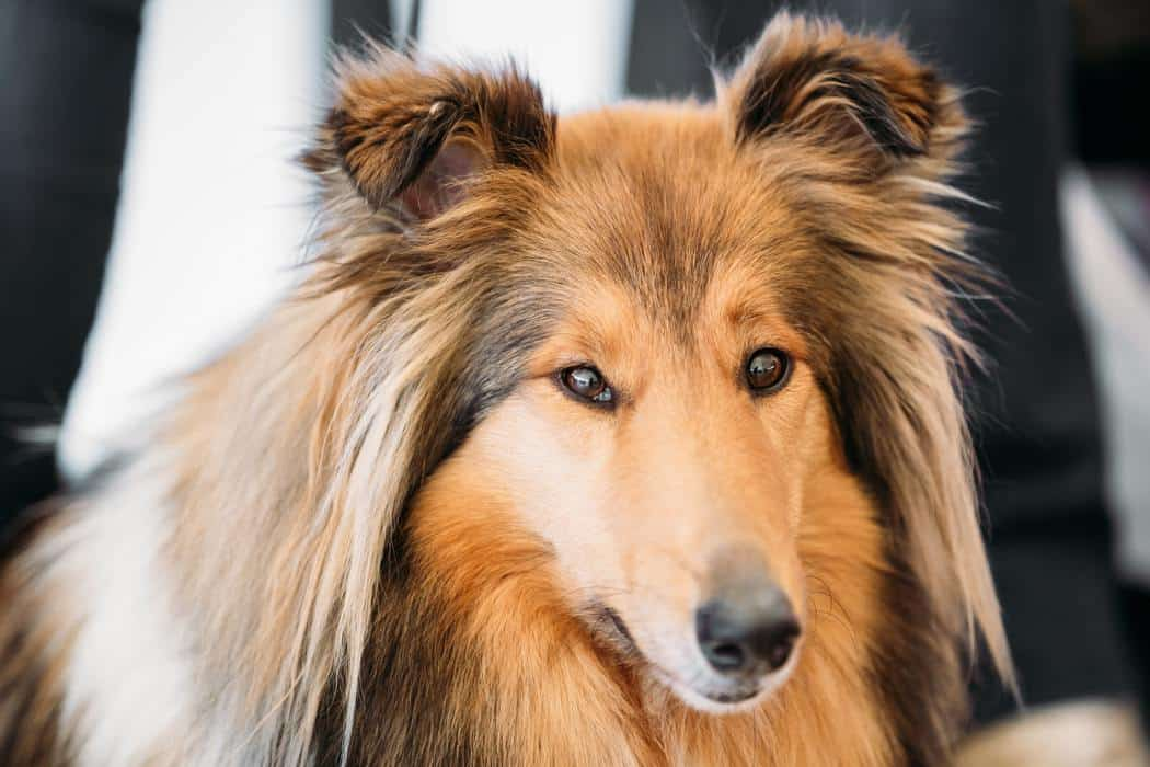 How Long Can Shelties Be Left Alone