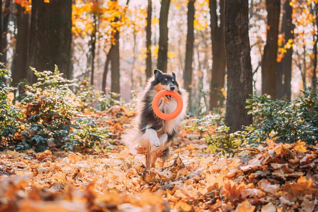 How Smart are Shelties? Funny Young Shetland Sheepdog Sheltie English Collie Playing With Ring Toy In Autumn Park. Tricolor