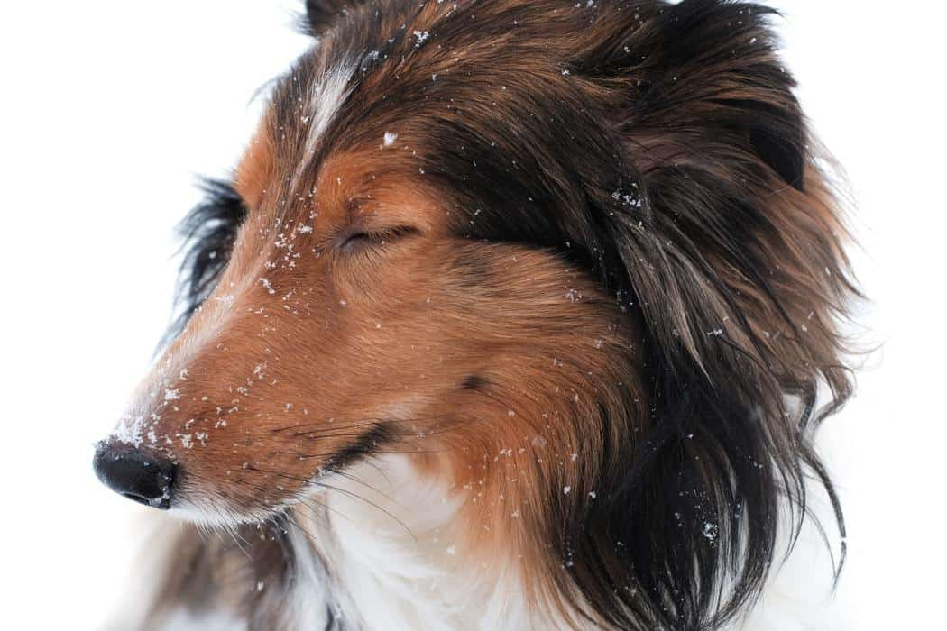 How Much Sleep Does a Sheltie Puppy Need? Do They Sleep A Lot?