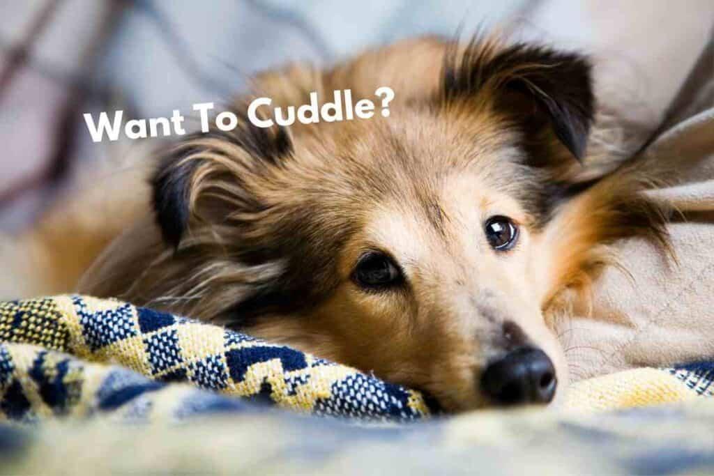 Do Shelties Like to Cuddle?