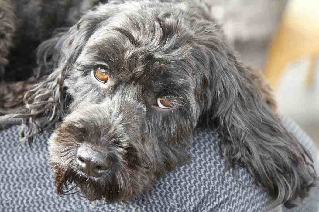Why Does My Cockapoo Smell So Bad