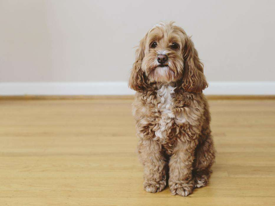 How To Prevent Matting On A Cockapoo