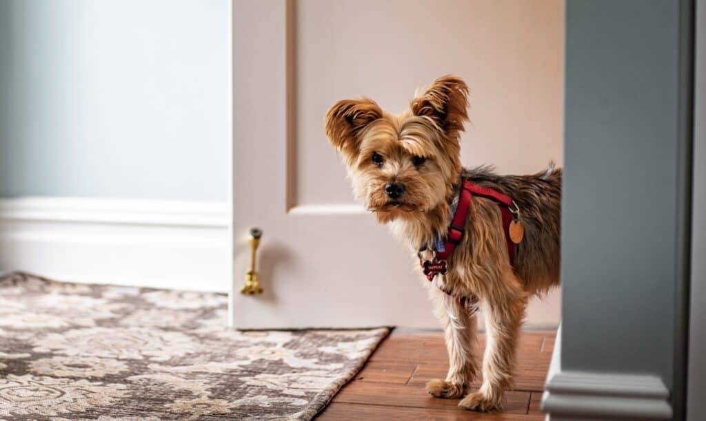 When Do Yorkies Shed Their Puppy Coat?
