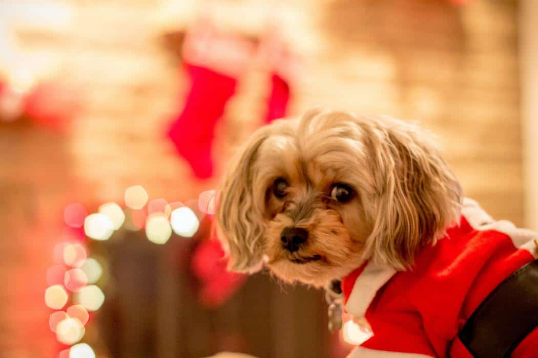 My yorkie-poo colt. He's unsure about this whole Christmas thing.