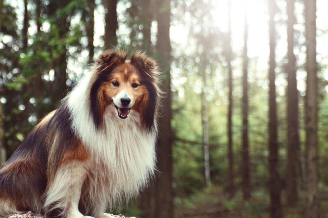 Portrait of a Sheltie Shetland Sheepdog dog in the forest