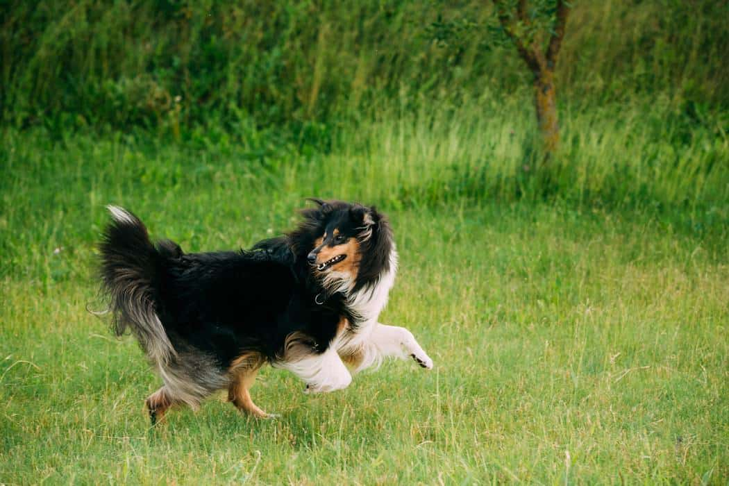 What Age Do Shelties Naturally Calm Down?
