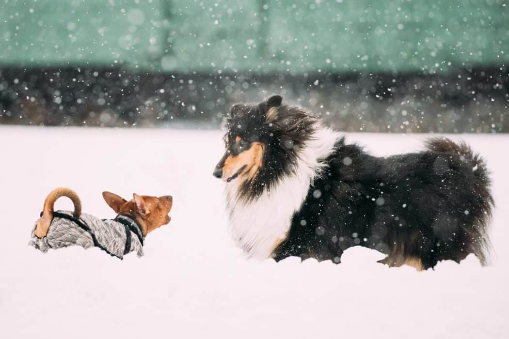 Are Shelties Good Guard Dogs?