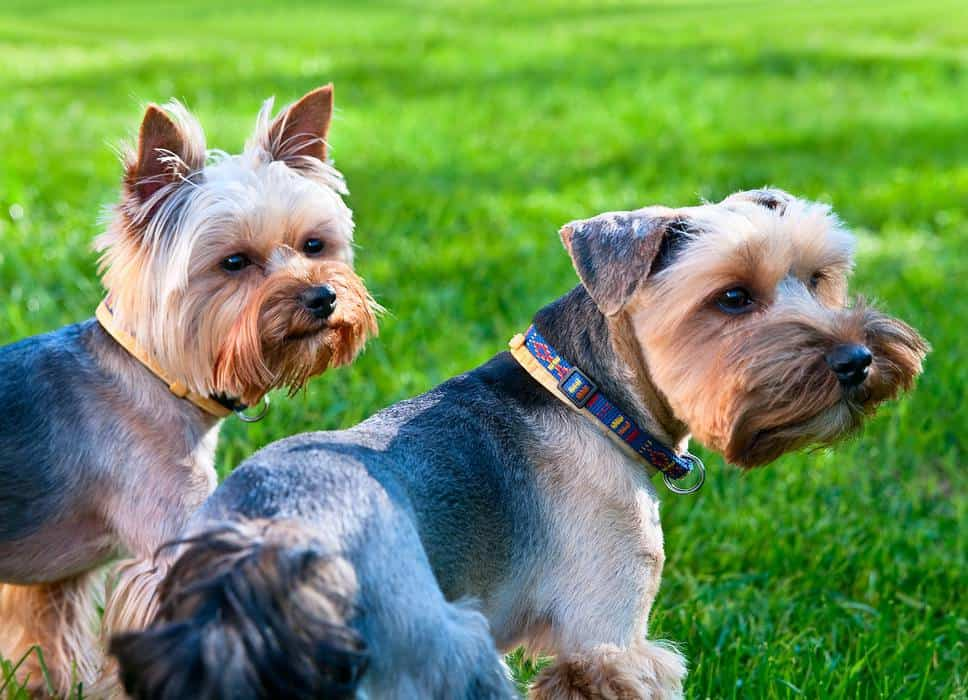 Are Male or Female Yorkies Easier to Train?