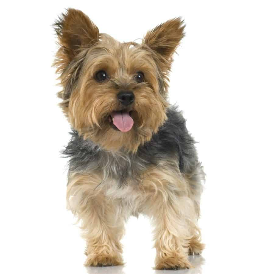 How Much Do Yorkie Puppies Cost?