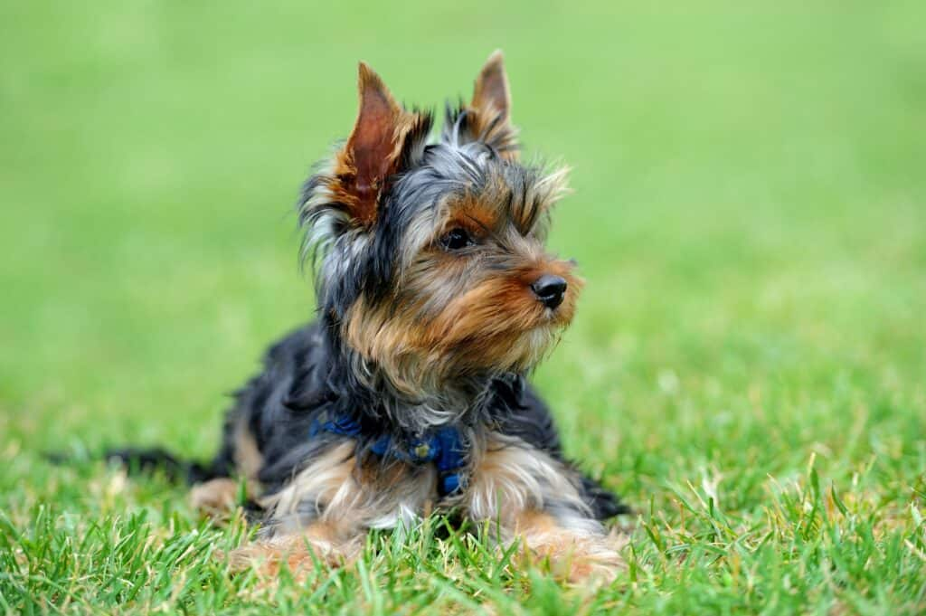 How Much Sleep Does a Yorkie Puppy Need?