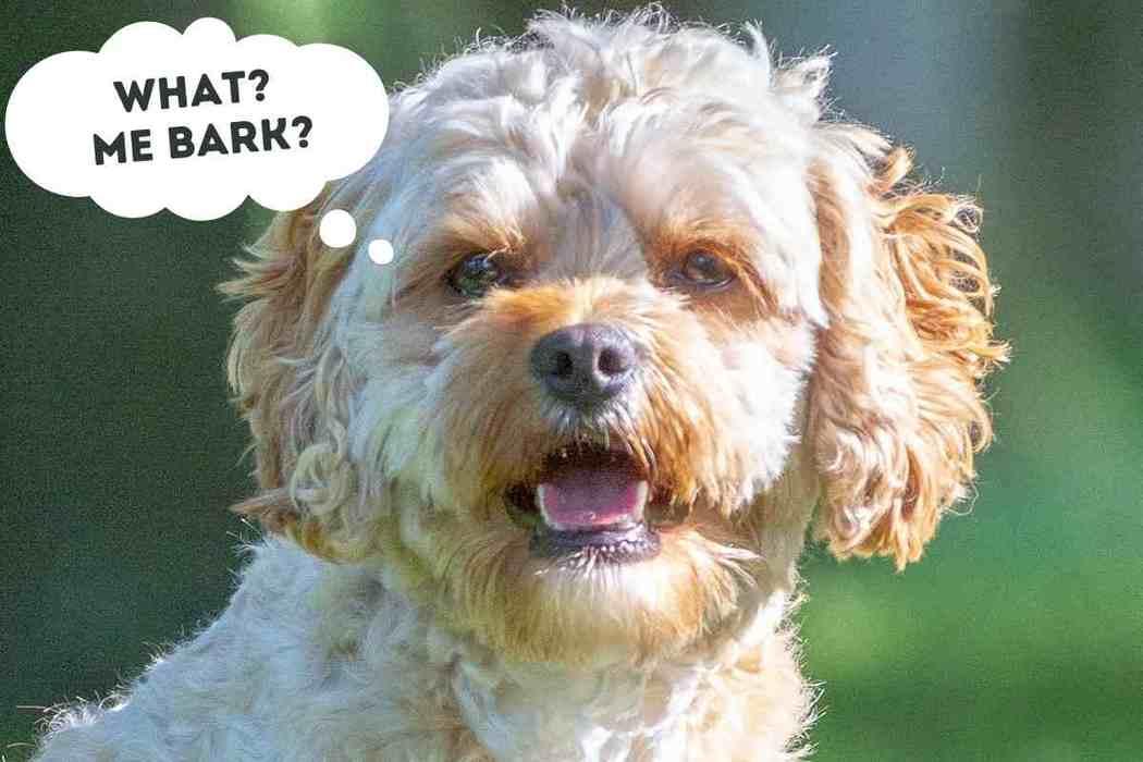 Do Cavapoo Dogs Bark a Lot? (Make It Stop!)
