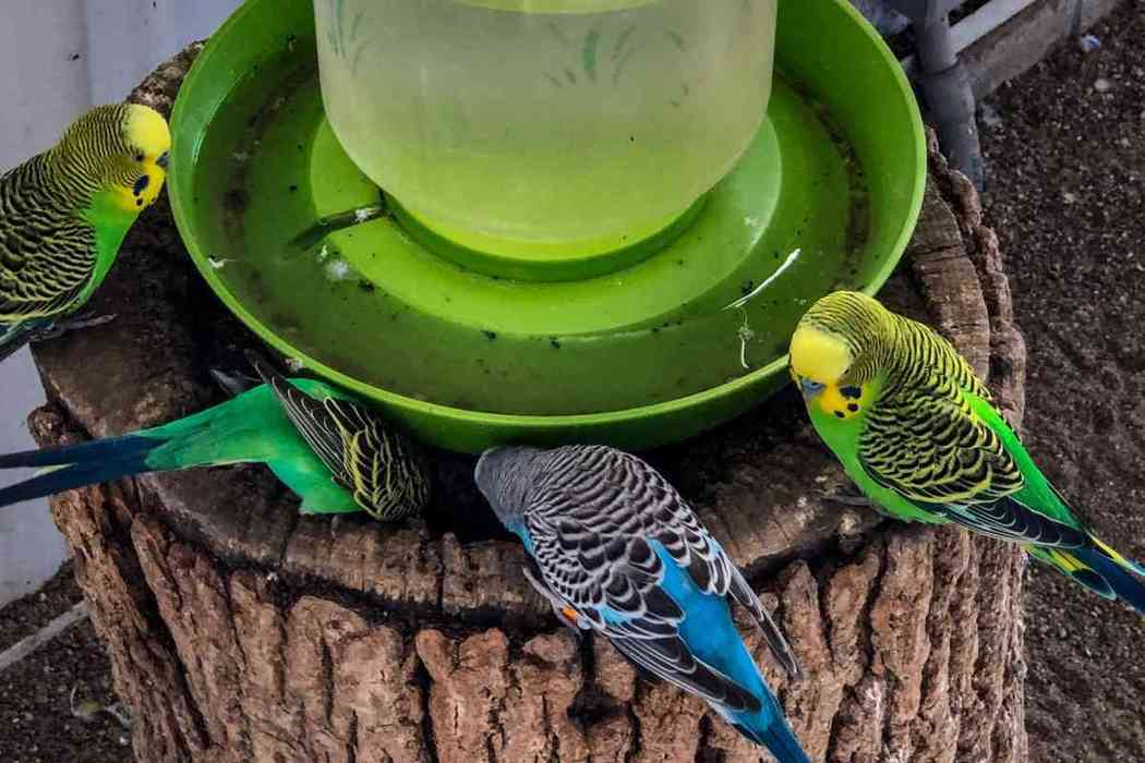 Do Parakeets Drink Water?