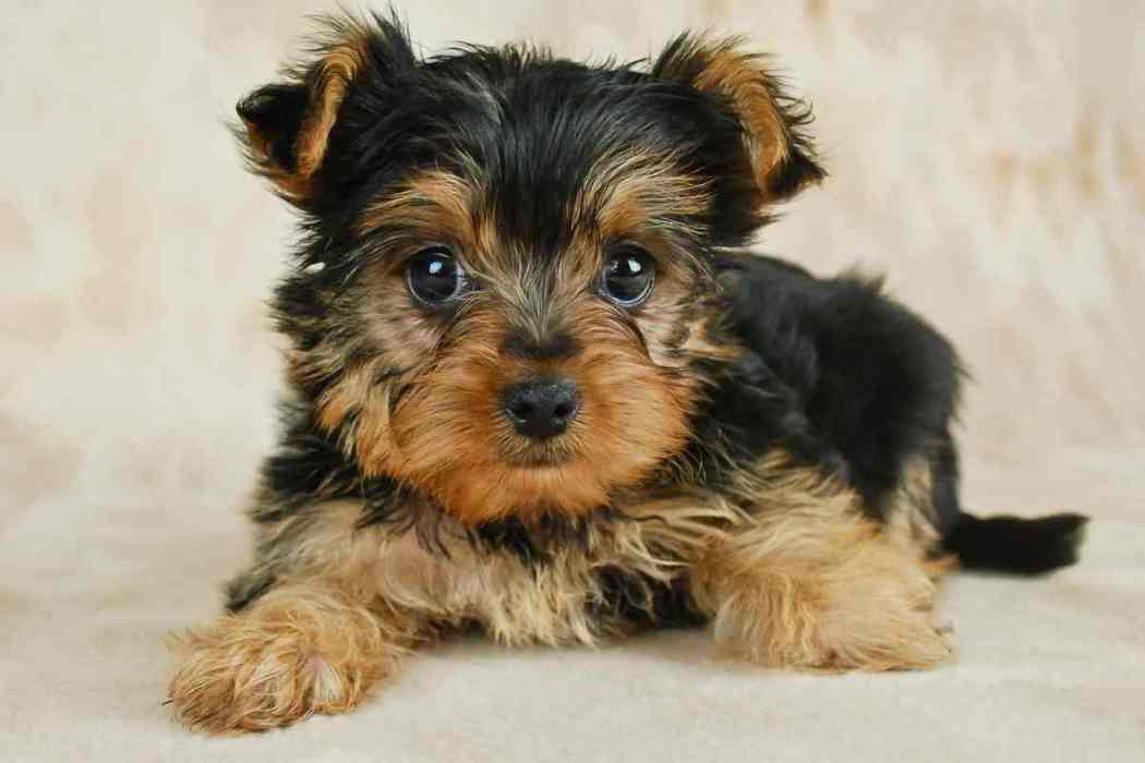 How Long Can Yorkies Be Left Alone?