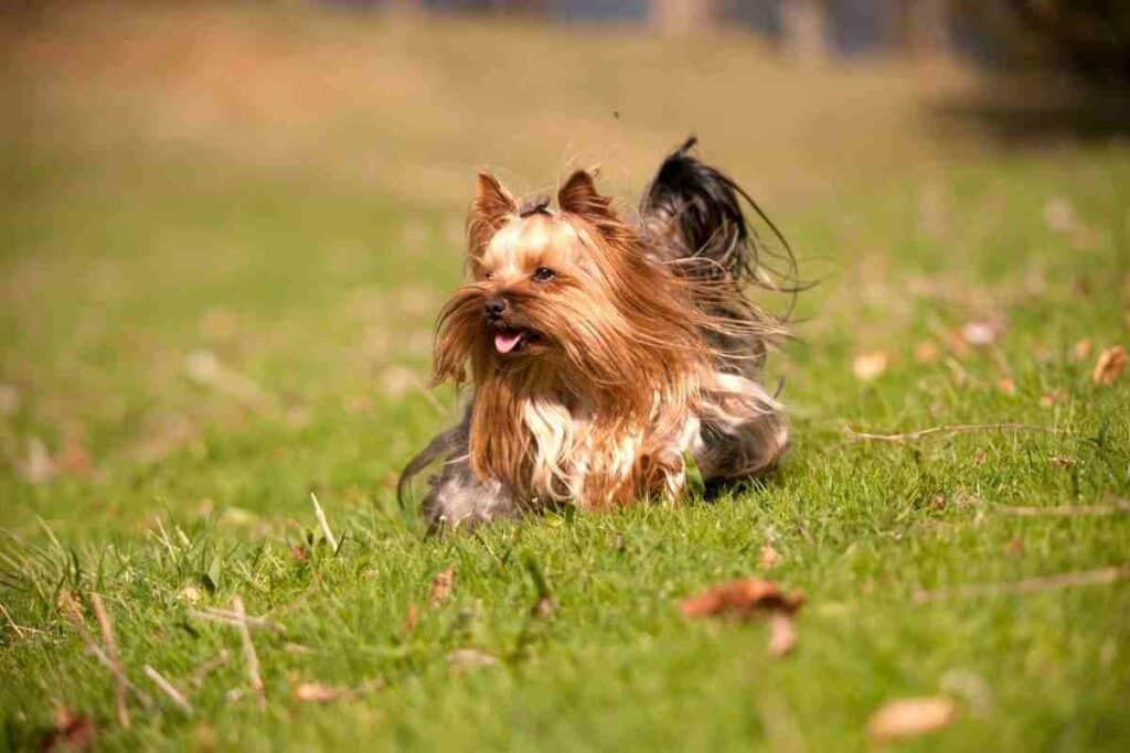 Are Yorkies Good Apartment Dogs?