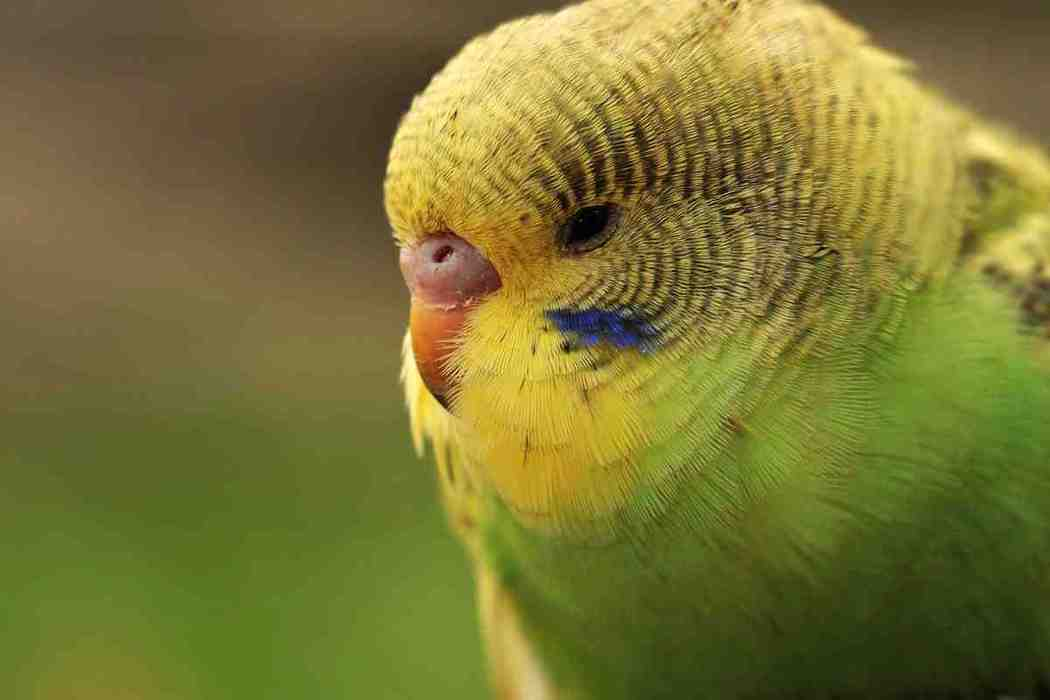 Why Do Parakeets Die Suddenly?