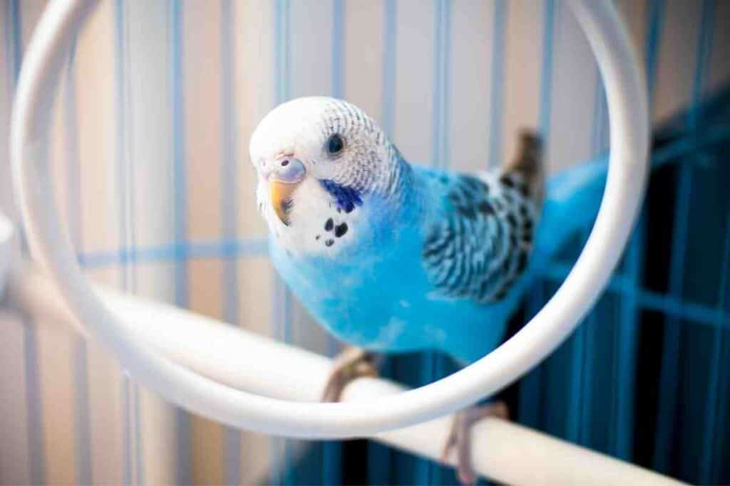 Will a Parakeet Die of Loneliness?