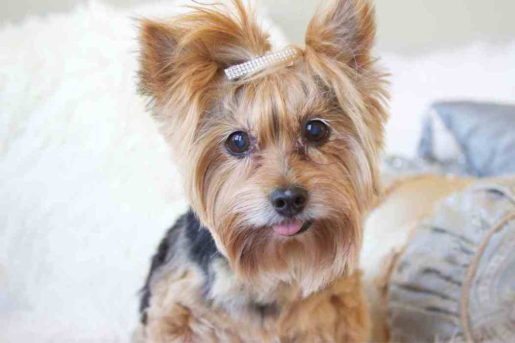 When Should a Yorkie Be Spayed?