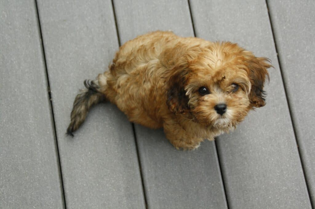 How Much Does A Cavapoo?