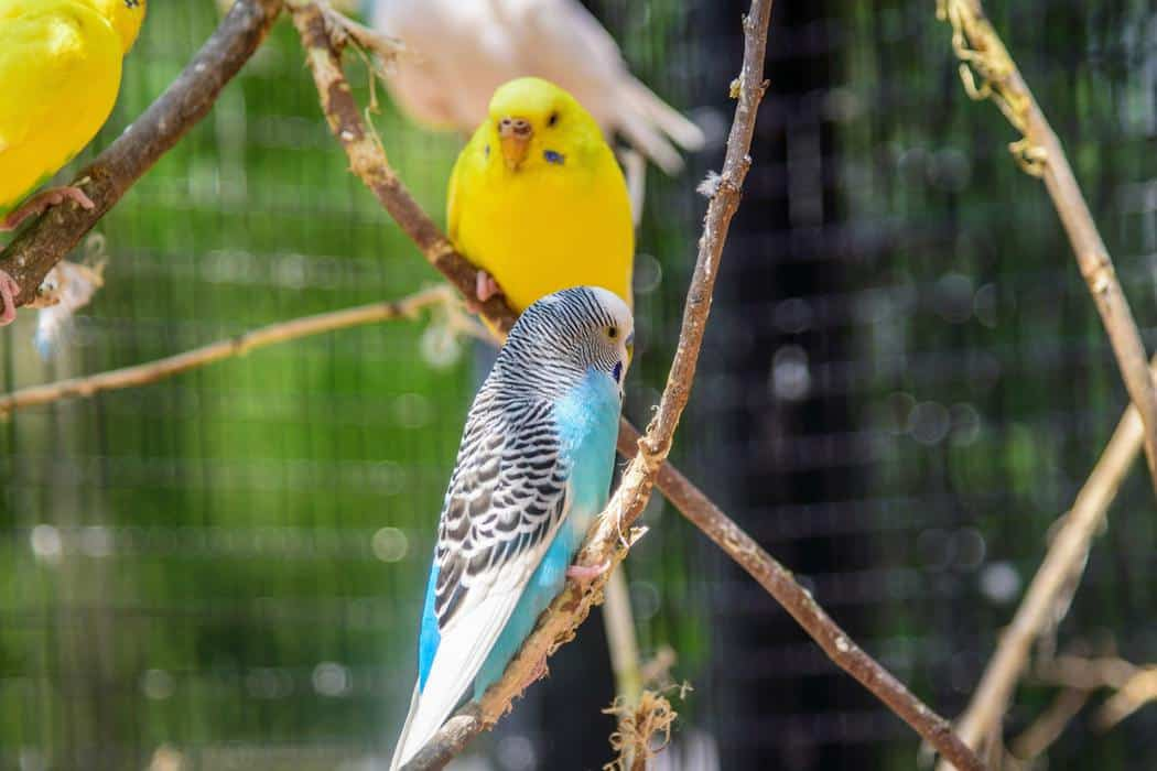 Do Budgies Need A Mineral Block