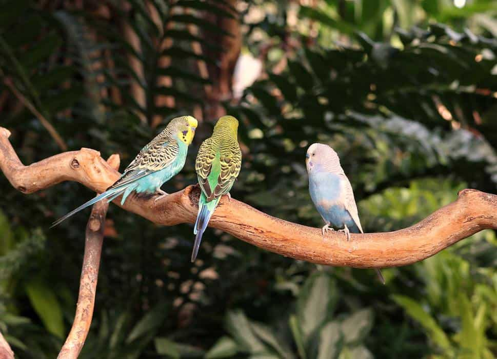 Budgies having a discussion