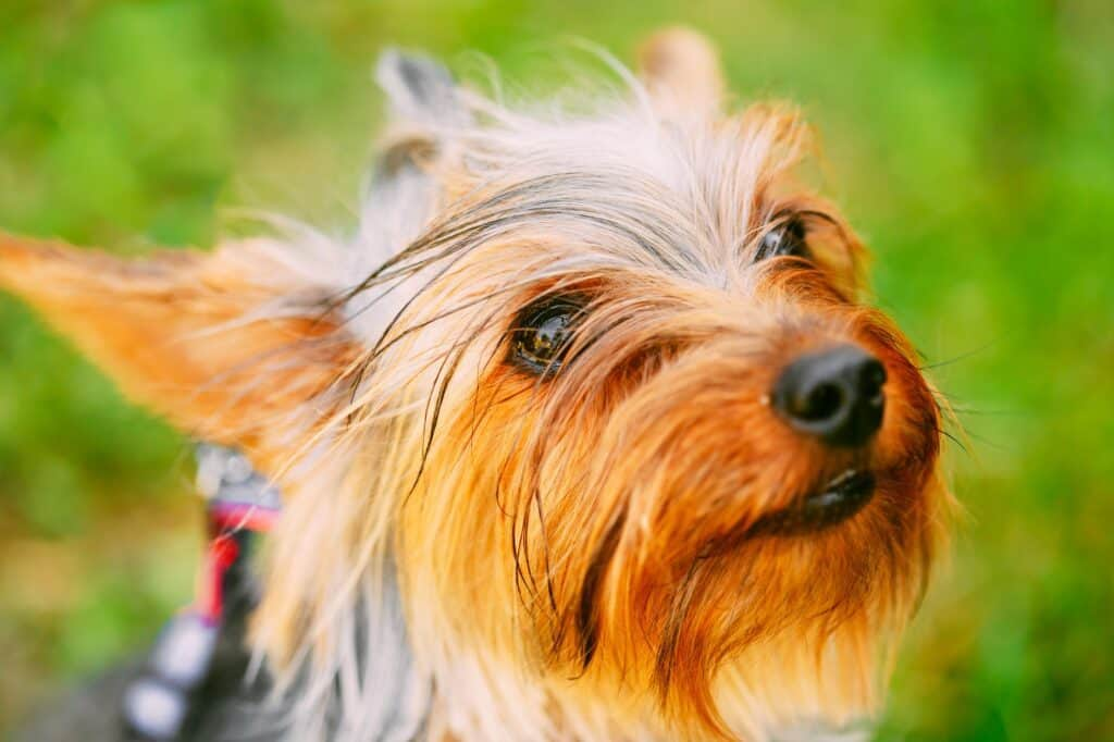 Are Yorkies Picky Eaters?