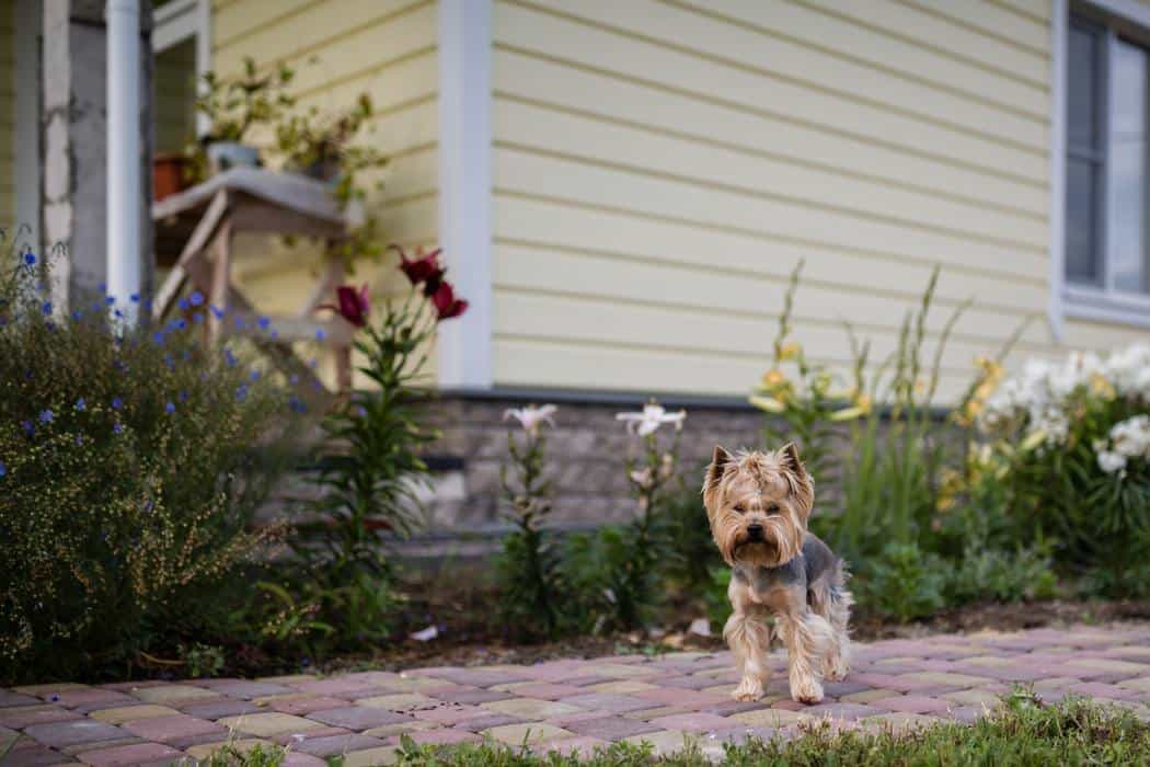 Can Yorkies Be Kept Outside?