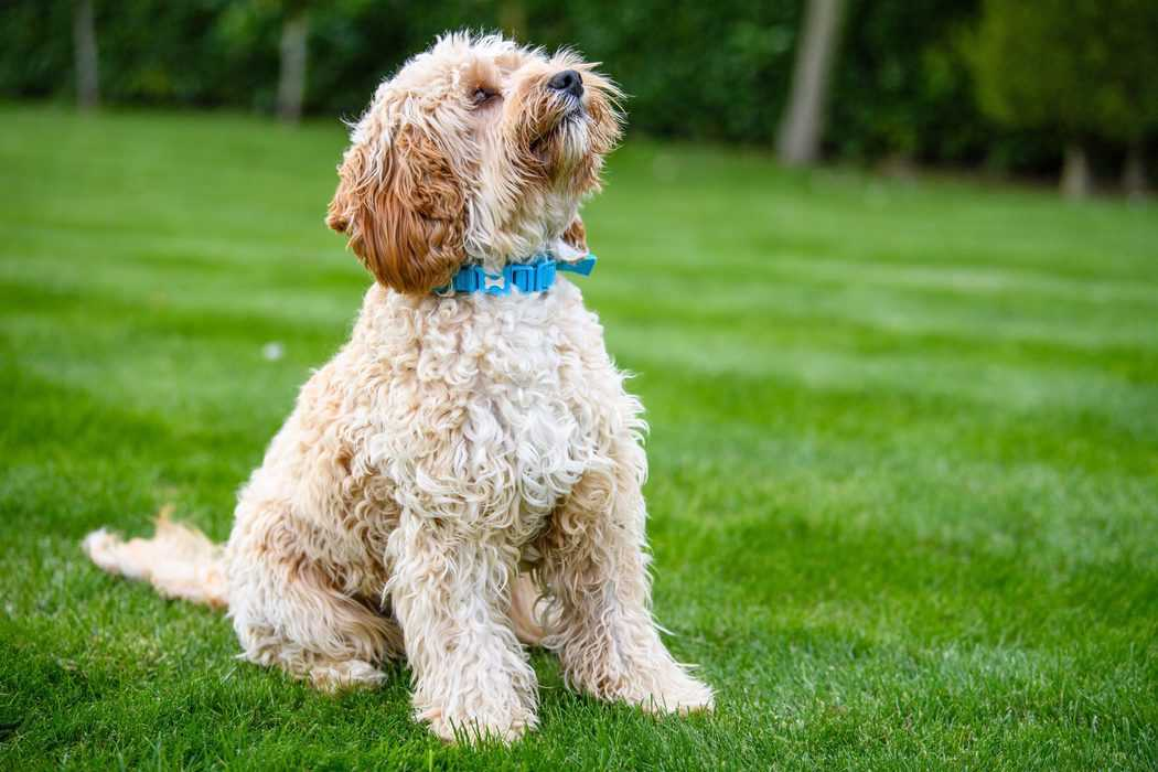 Ways to Prevent Cavapoo Fur from Matting:  3 Must-Have Dog Brushes (That Work!)