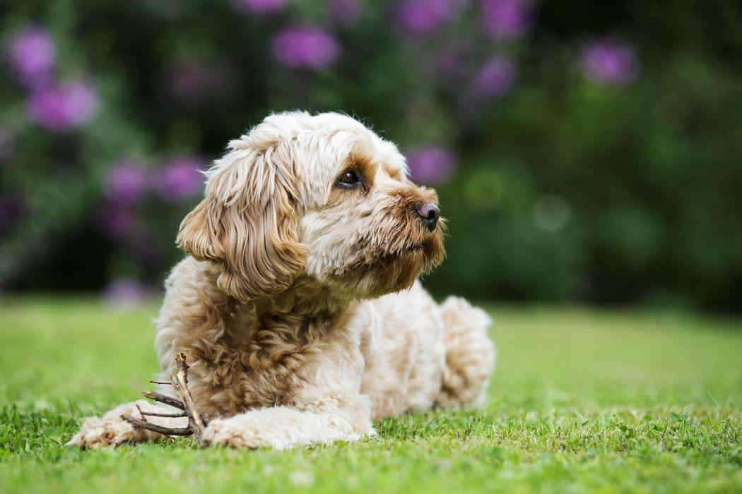 Portrait of a fawn coated young Cavapoo lying on a lawn.