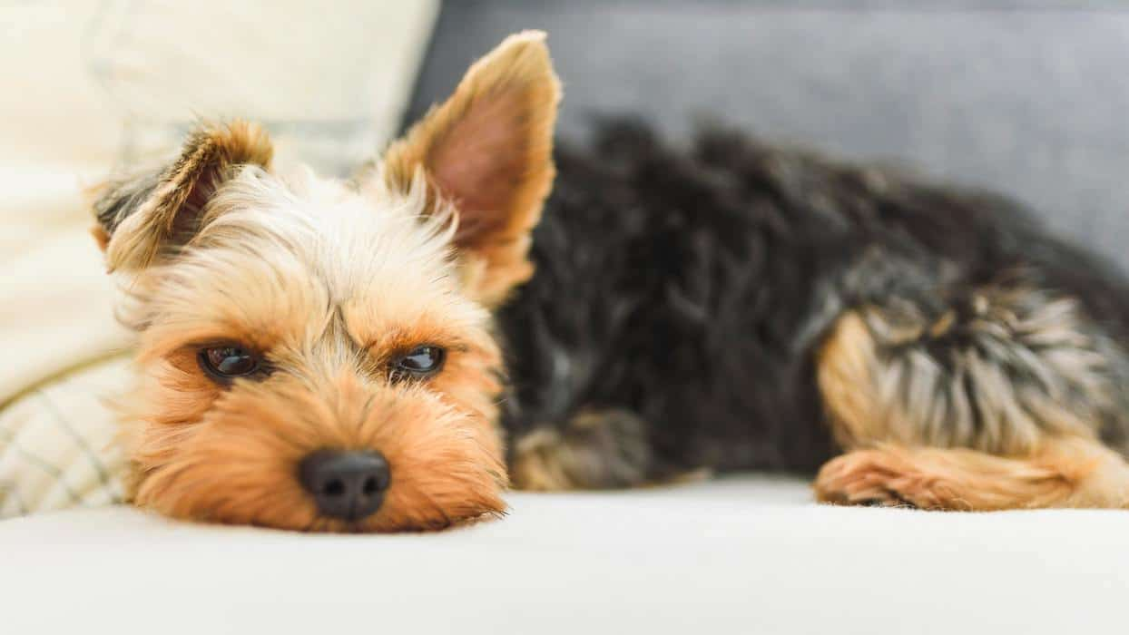 The Yorkshire Terrier slipping on a couch, sofa. Small dog concept