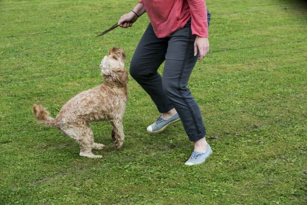 Woman standing in a garden, playing with fawn coated young Cavapoo.
