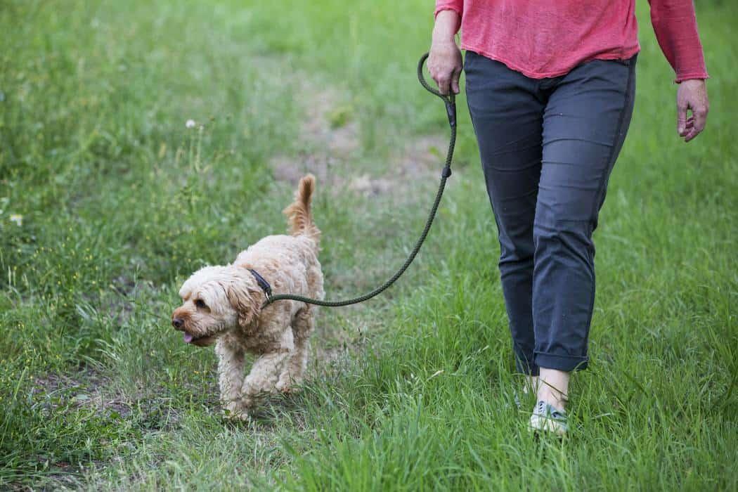 Is A Cavapoo A Good Family Dog?