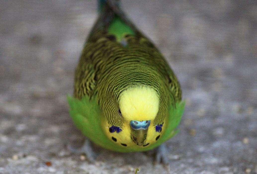 Yellow and green parakeet