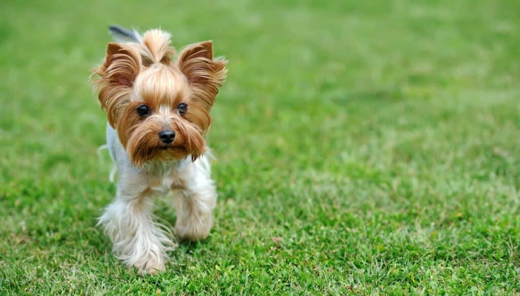 What Age Do Yorkies Naturally Calm Down?