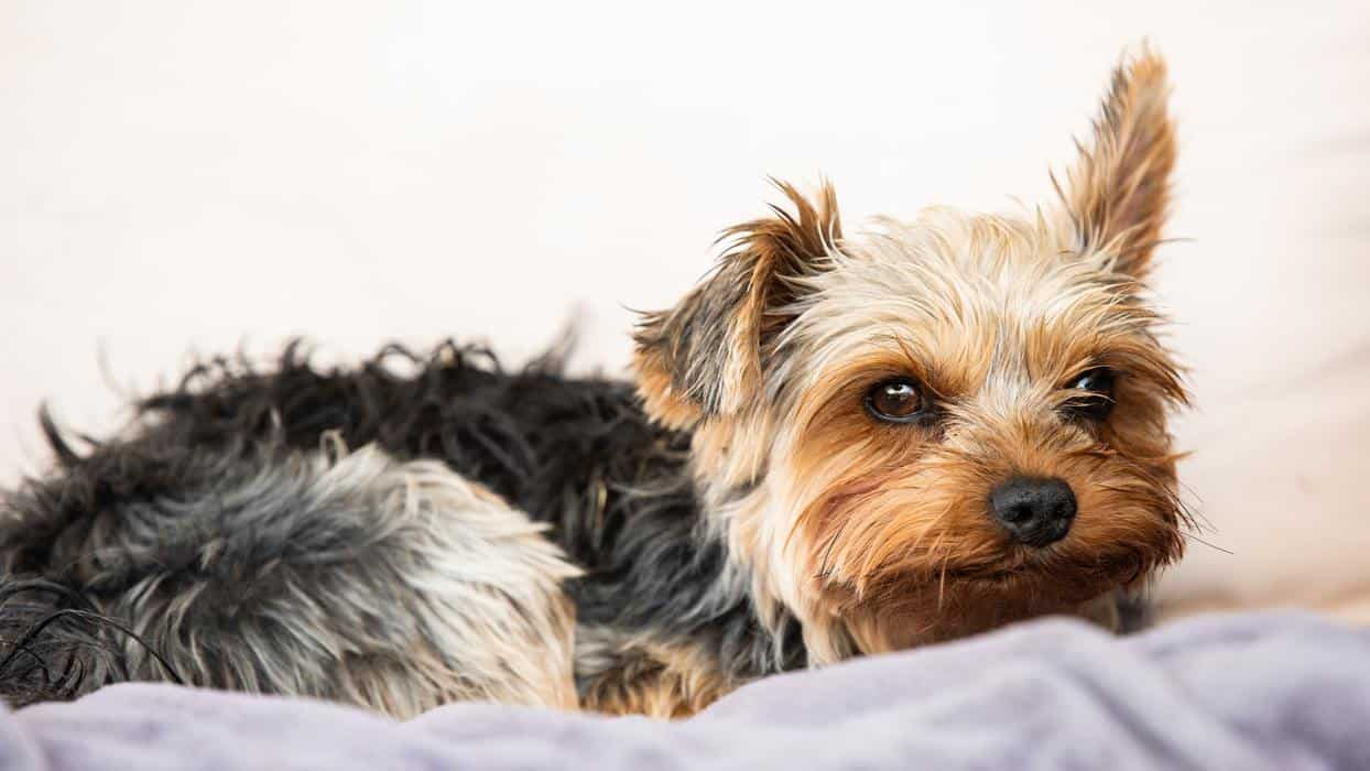 How Much Sleep Does a Yorkie Puppy Need? (Explained)