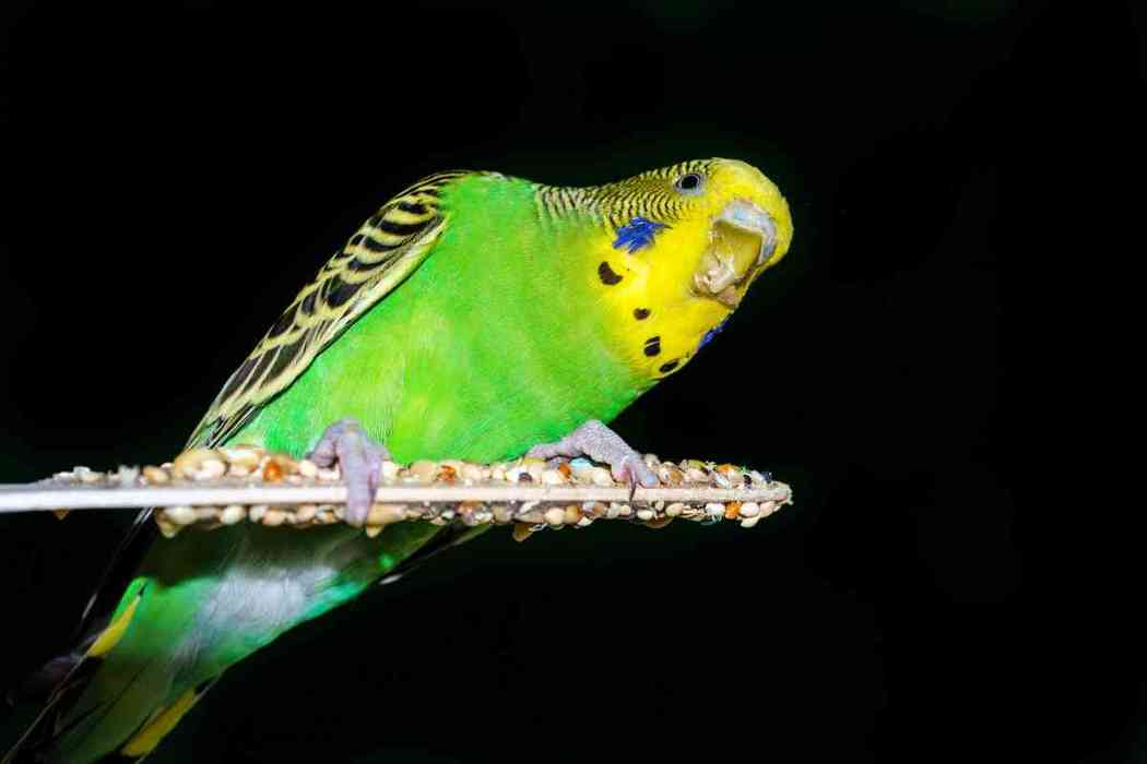 Can Parakeets See In the Dark?