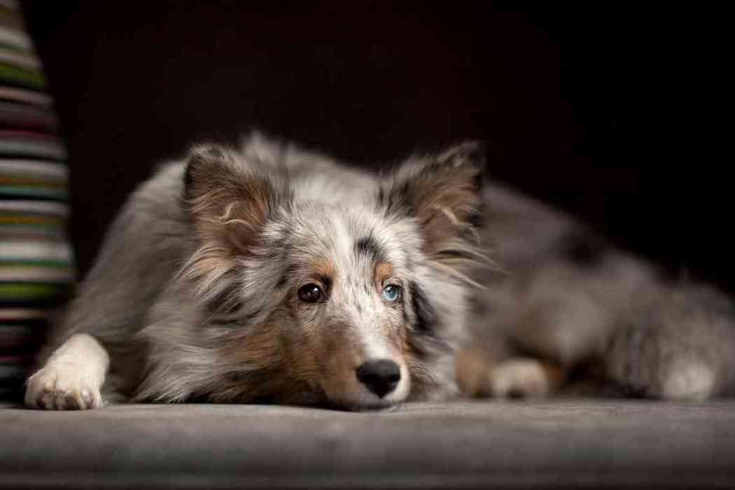 How Long Can Australian Shepherds Be Left Alone?
