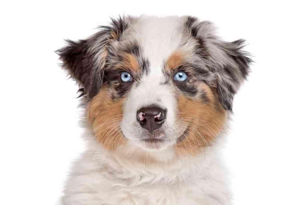When Do Australian Shepherd Puppies Need Their First Haircut?