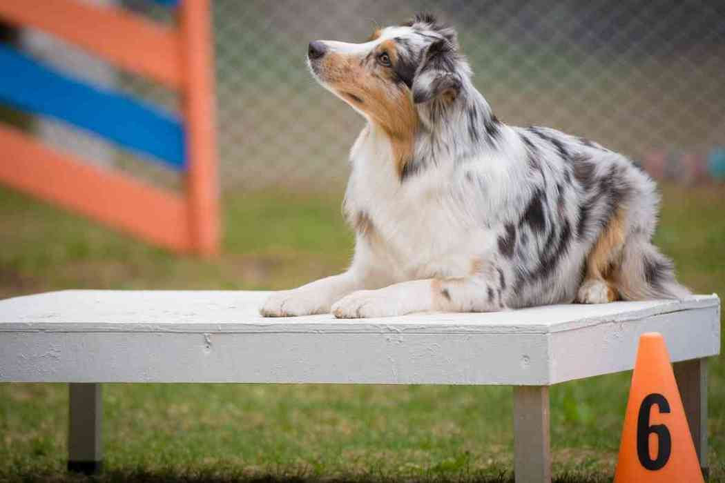 When Do Australian Shepherd Puppies Stop Biting And How Can I Stop It?
