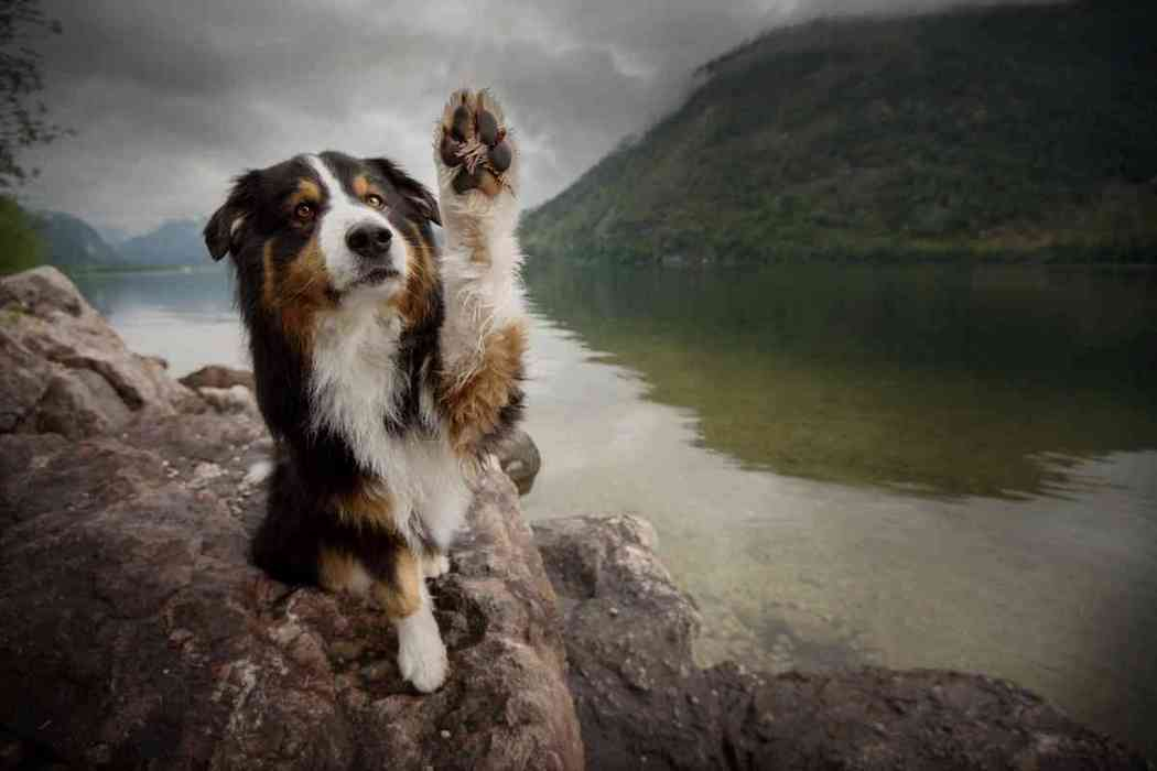 When Do Australian Shepherds Shed Their Puppy Coat?