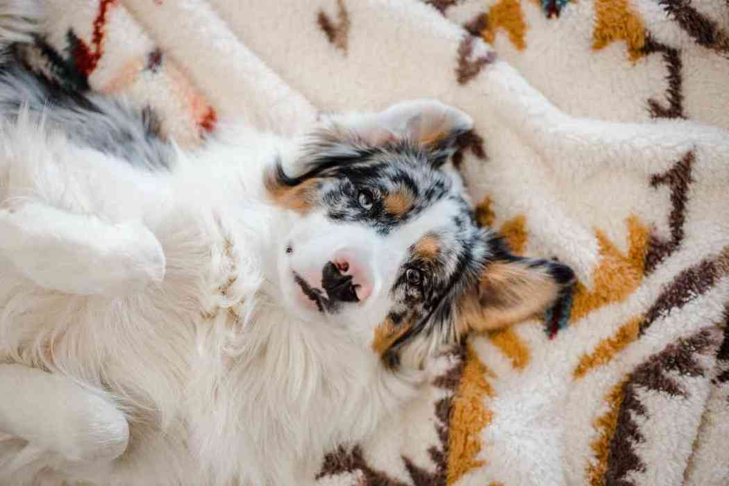 When Should An Australian Shepherd Be Neutered?