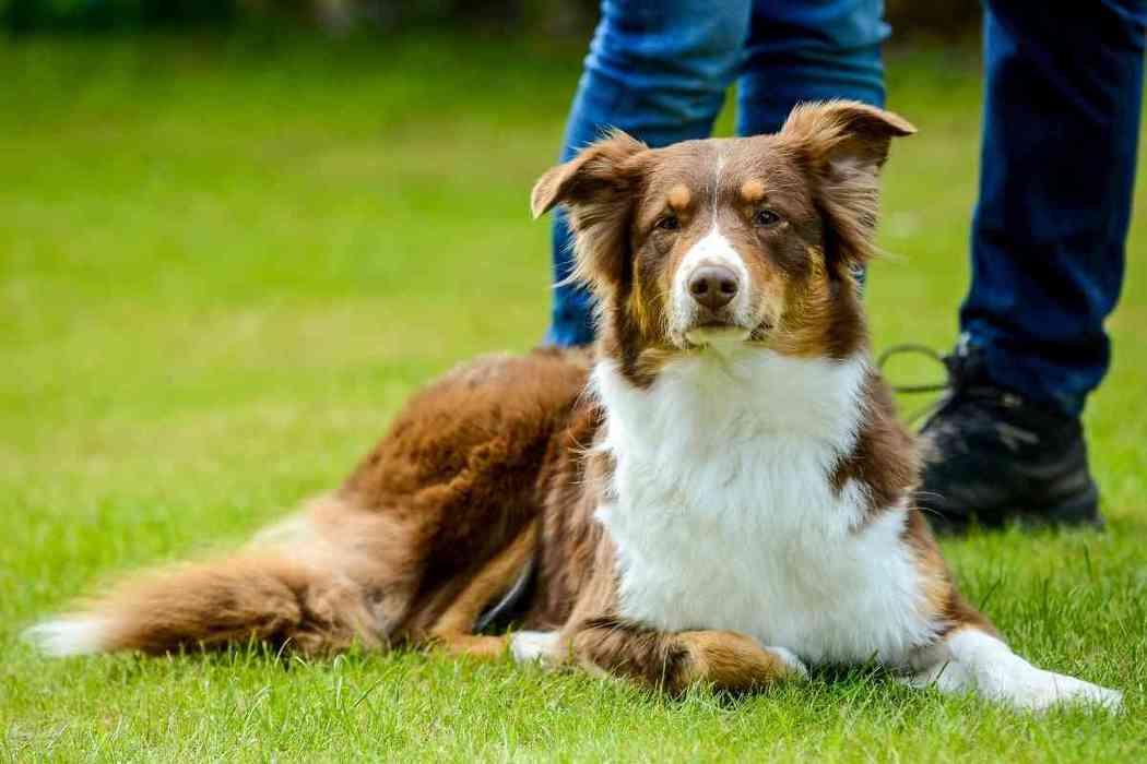 When Should An Australian Shepherd Be Spayed?