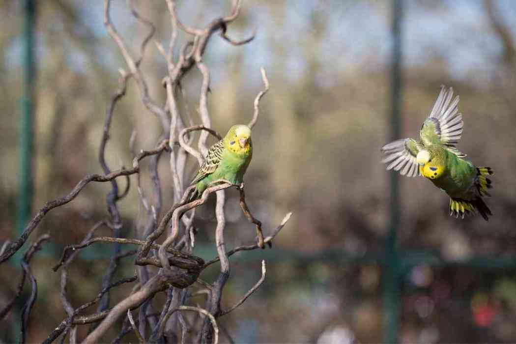 Why Clip Parakeet Wings?